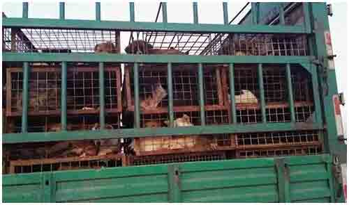 Dogs in a truck for yulin festival china
